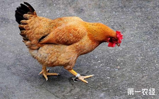 正阳三黄鸡