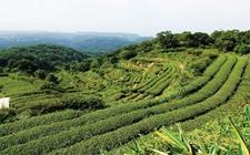 """湖南石门:茶产业摘下全村""""穷帽子"""""""