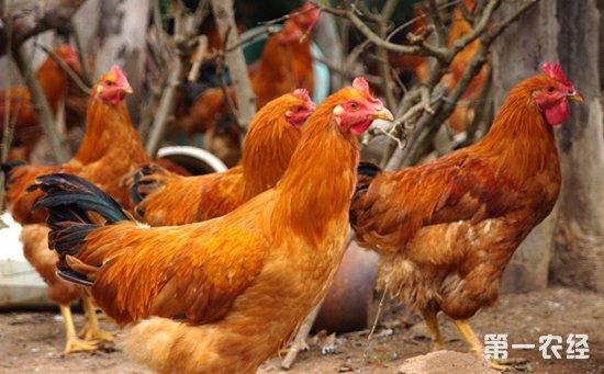 2万只走地鸡架起新曙光   抱团养鸡开启致富前程