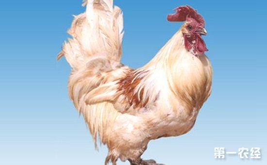 云龙矮脚鸡