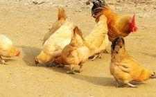 家庭养鸡可以喂沙子吗?家庭院落如何养鸡?