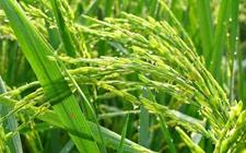 辽宁铁岭:以绿色水稻专业合作社为纽带 大力发展绿色大米种植
