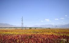 青海:藜麦产业区域化优势逐步突出 或成新型生物特色优势产业