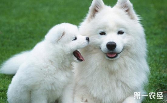 微笑天使 萨摩耶犬好养吗 萨摩耶的饲养方法大全