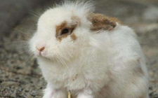 <b>兔子球虫病有何症状?兔子球虫病的预防方法和治疗技术</b>