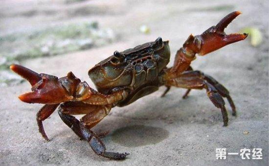 螃蟹颤抖病是什么原因?螃蟹颤抖病的预防及治疗方法