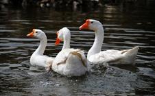 春季鸭病早防治|春季鸭有哪些常见病?该如何防治?