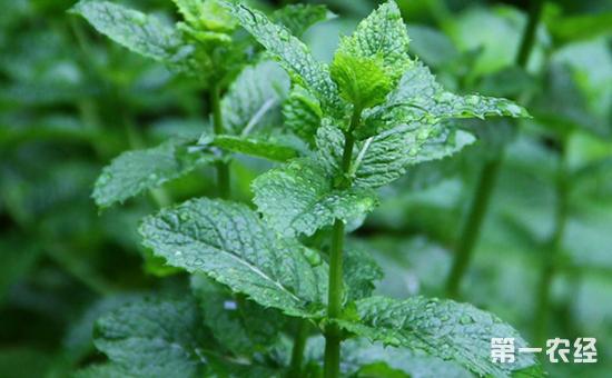 薄荷要怎么种植?薄荷的栽培技术及养护方法