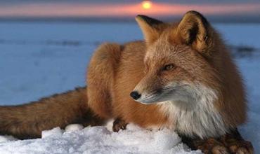 狐狸营养代谢性疾病的诊断与防治