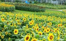 国庆前三天四川蓬溪农业博览园每日迎来数万游客