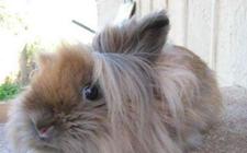 狮子头兔有哪些常见的疾病?狮子头兔犯病时有哪些特征?