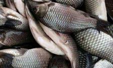 鱼类的杂交育种操作程序及方