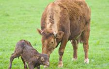 母牛分娩期护理技术