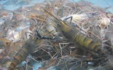 <b>斑节对虾养殖技术</b>