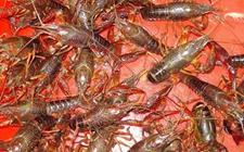 <b>淡水龙虾养殖成本</b>