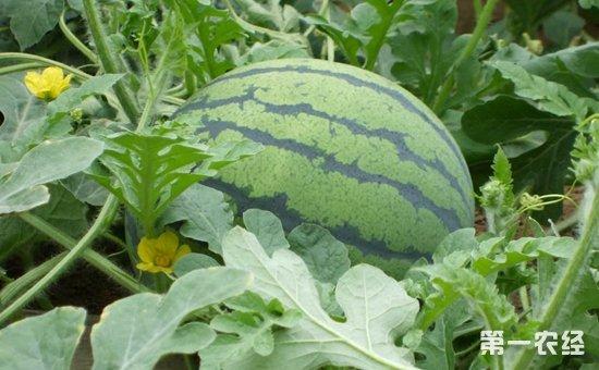 无籽西瓜种子怎么来的?无籽西瓜的种植技术