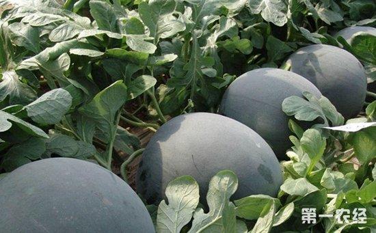 无籽西瓜是转基因吗?无籽西瓜的田间管理技术