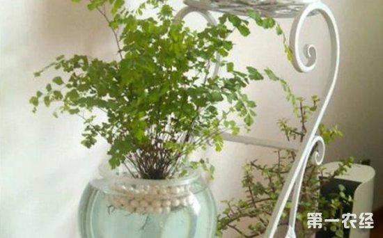 铁线蕨可以水培吗?铁线蕨的水培方法与管理