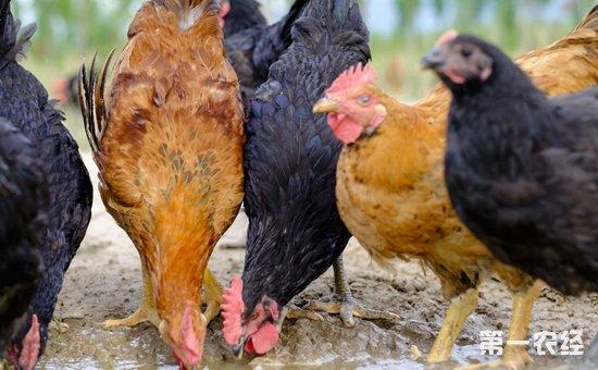2017年10月10日最新鸡蛋价格行情 淘汰鸡价格行情 白羽肉毛鸡价格行情