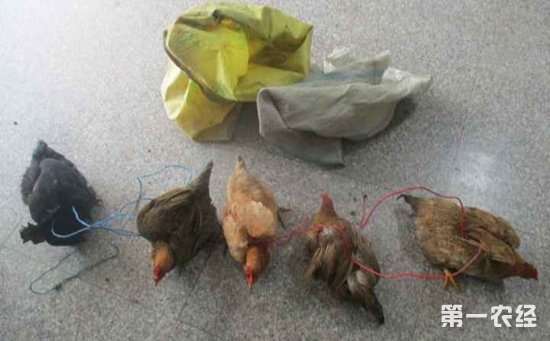 偷鸡犯罪团伙成功抓获  作案12起盗窃土鸡100多只