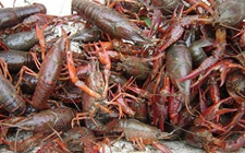 <b>龙虾虾壳的用途</b>
