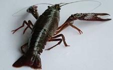<b>如何清除龙虾池杂物</b>
