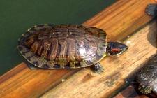 """草龟变""""金龟"""",优质龟苗是关键!"""
