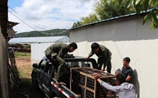 云南宁洱:黑熊被农户饲养14年 现已送至收容救助中心