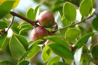 【油茶树专题】油茶树种植嫁接|病虫害防范