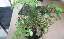 铁线蕨叶子枯萎怎么办?铁线蕨叶子枯萎的原因和解决方法