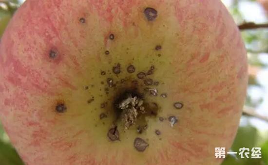 苹果膨大期怎么防治黑点病?苹果黑点病的防治方法