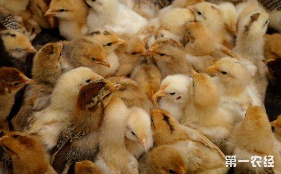 小小APP发挥大作用   解贫困村民养鸡难题
