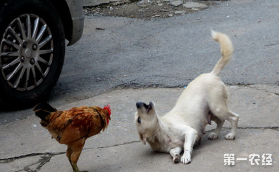 爱欺负小狗的公鸡你见过