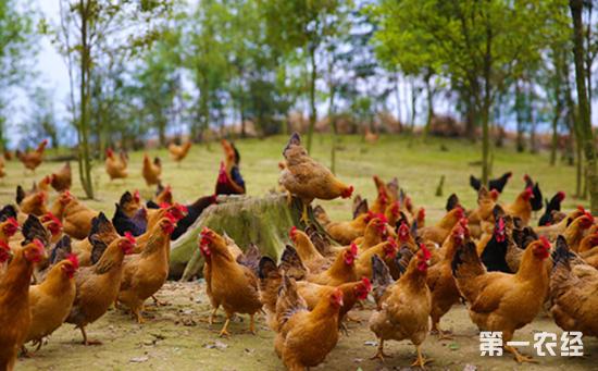 中国十大名鸡——崇仁麻鸡