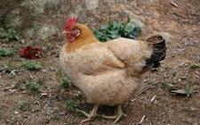 蛋鸡吃什么下蛋多?草鸡怎么喂养下蛋多?