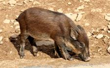 野猪痢疾怎么办?野猪痢疾的防治方法?