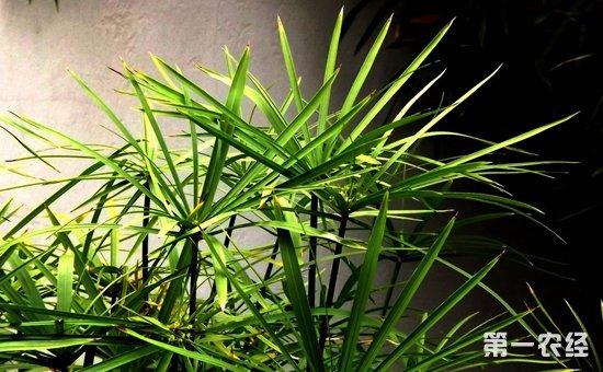 10种寓意美好的盆栽植物介绍!养上一盆便能吉祥如意节节高升