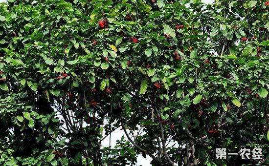 苹婆该怎么种植?苹婆的种植技术