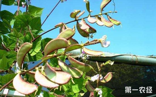 扁豆有哪些品种?扁豆常见的栽培品种介绍