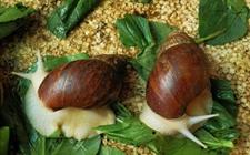 <b>蜗牛养殖可行吗?蜗牛的养殖价值有哪些?</b>