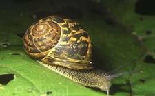 <b>散大蜗牛怎么养?散大蜗牛的养殖技术</b>