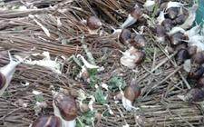 白玉蜗牛养殖中吃什么?白玉蜗牛的养殖饲料