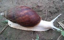 关于白玉蜗牛养殖中的常见病?白玉蜗牛常见疾病防治技术