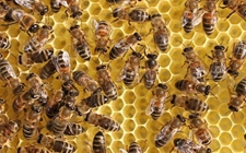 蜜蜂得了黑蜂病怎么办?蜜蜂黑蜂病防治方法