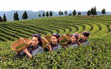四川旺苍县:坚持绿色发展理念 提升茶产业竞争力