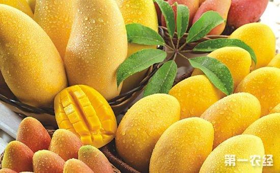 广西百色:芒果产业成脱贫攻坚的重要力量