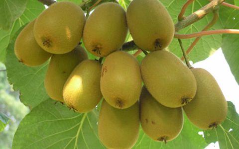 陕西眉县:多举措并举 全力保障猕猴桃产品品质
