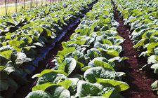 黑龙江宾县:永和菜业的蔬菜产销模式