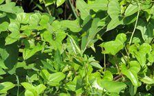 河南孟津境内现野大豆踪迹 系濒危植物
