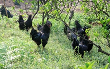 贵州赤水市地方特色家禽——赤水乌骨鸡